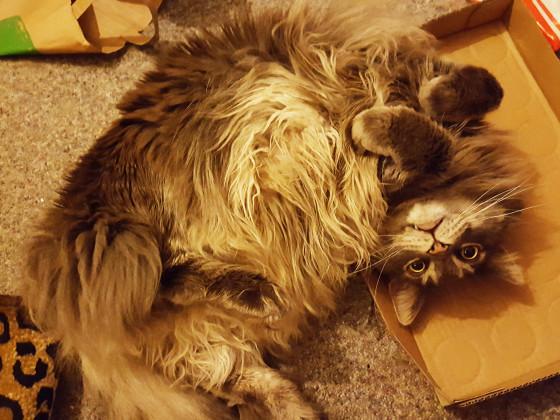 Er liebt Kartons, auch wenn er nicht reinpasst :D