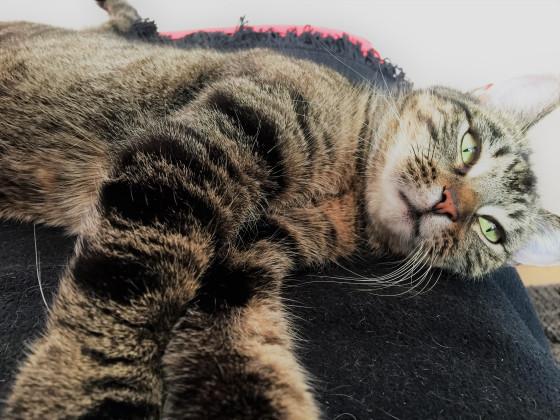 Tiger am entspannen (Schnappschuss)